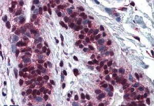 Anti-CREB1 Mouse monoclonal antibody [clone: 5F2]